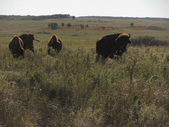 bison roadside550WEB